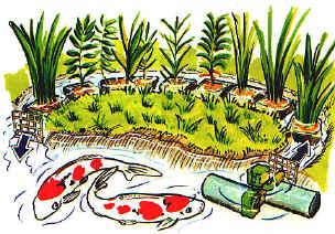 Piante per laghetto con koi for Laghetto koi